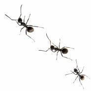 3 acrobat ants