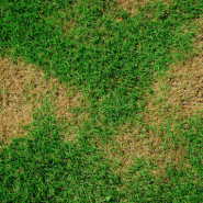 lawn with brown patches because of chinch bugs
